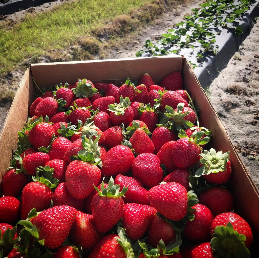 Bradenton free activities - Hunsader farms strawberries